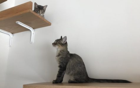 Two kittens wander along the wall boards located above customers in the cat room. All cats at Felius, which is located on 522 1/2 S. 24th street,  are available for adoption for $75.
