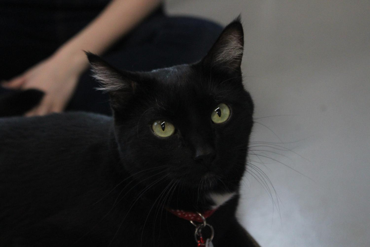 Waiting to be pet, Popcorn, one of the several cats up for adoption at the cafe, watches patrons of Felius. Customers are able to enjoy coffee or tea and then enjoy petting and cuddling with the cats and kittens.